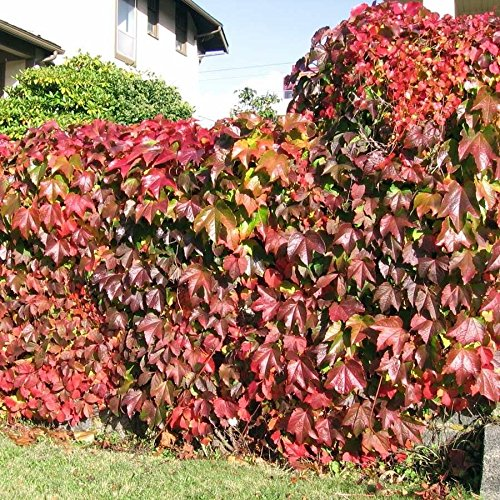 Boston Ivy Vine Virginia Creeper