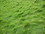 carpet grass 1000 seed pack