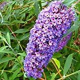 Buddleja davidii Blue - 1 shrub