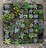 20 Assorted Succulent Plants - 2 Inch Pot - Many Varieties