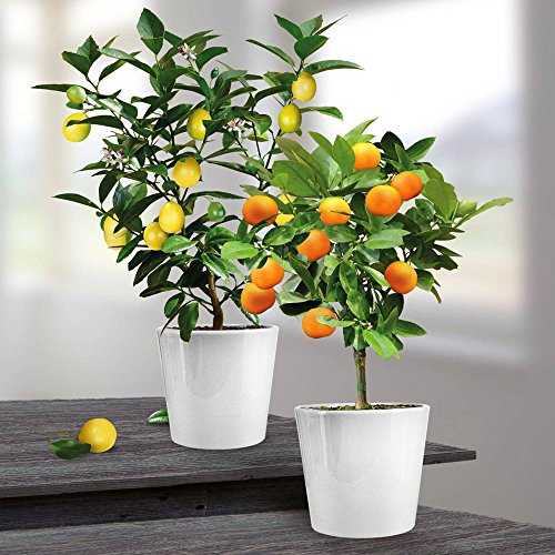 lemon-and-orange-combo-x-2
