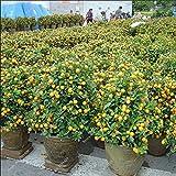 nane commestibili semi frutti bonsai, i semi di mandarino agrumi arancio, balcone patio in vaso alberi da frutto Kumquat Semi 10pcs / bag