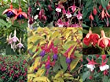 Fuchsia Winter Hardy Mixed Collection 10 plug plants - PLUGPLANTS4U