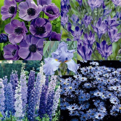 Blue Flower Garden x 26 Plants