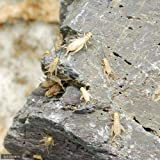 (生餌)ヨーロッパイエコオロギ S 1.5グラム(約75匹) 爬虫類 両生類 大型魚 餌 エサ 本州・四国限定[生体]