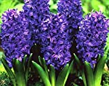 Royal Purple Hyacinth Bulb and Glass Vase for Forcing - Peter Stuyvesant