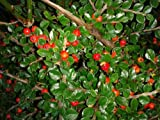 COTONEASTER HORIZONTALIS CREEPING GORGEOUS RED BERRIED WHITE FLOWERED VERY HARDY SHRUB IN 9CM POT