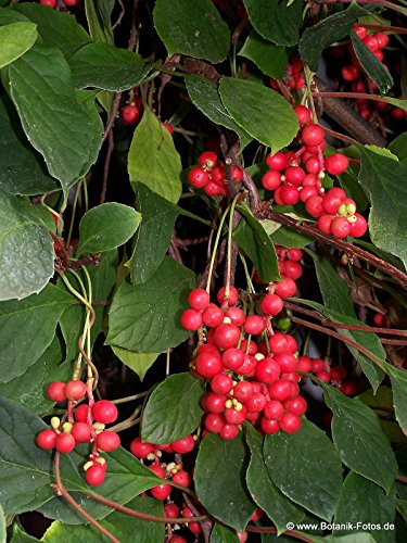 Chinese Magnolia Vine, Schisandra Chinensis, 20 Seeds (Edible Fruit)