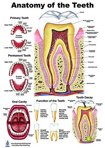 Human Tooth Names