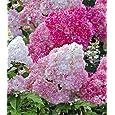 BALDUR-Garten Freiland-Hortensien 'Vanille Fraise®' im 3-Liter Container, Hydrangea paniculata, 1 Pflanze