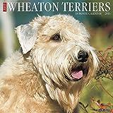 Wheaton Terriers