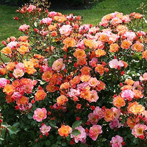 rose jazz bodendeckerrose mehrfarbige bl ten in orange. Black Bedroom Furniture Sets. Home Design Ideas