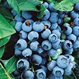 Saavyseeds Organic Highbush Blueberry Seeds - 105 Count -