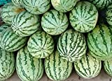 SEED Seller: F1 HYBRID Watermelon seeds for growing. High yielding variety with Very sweet and juicy deep red firm and crispy flesh. Best for Commercial cultivation, Kitchen Gardening, easy to grow in Grow bags (50)