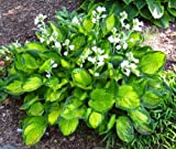 Amazon / Hirts: Hosta: Rainforest Sunrise Hosta Perennial - Shade Lover - 4 Pot