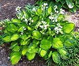 Amazon / Hirts: Hosta: Rainforest Sunrise Hosta Perennial - Shade Lover - 4 Pot