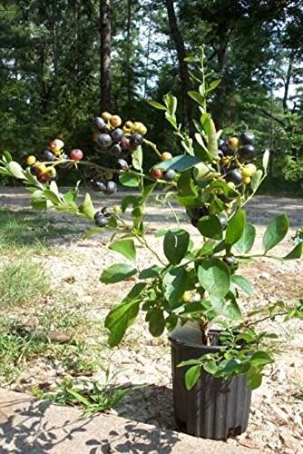 Climax Blueberry Plant Fruit Bearing 2'-3' Tall Blueberries Healthy Roots Bush Plants (Berry Bush compare prices)