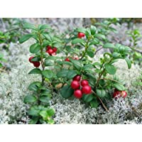 Lingonberry - High in Anti-oxidants - 4
