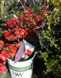 """Double Take"" Orange Storm Flowering Quince, Two Gallon Container by Monrovia Growers"