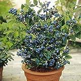 Blueberry 'Northland' - Highbush Blueberry Plant - 2 Gallon Pot (Vaccinium corymbosum 'Northland')