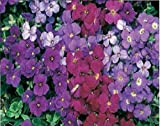 Just Seed - Flower - Rock Cress - Aubrieta deltoidea - Royal Mixed - 250 seed