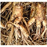 Chinese Ginseng - Panax ginseng Seeds - 人参 MEDICINAL & HERBAL - Cold Hardy To Zone 6 - By MySeeds.Co (010 Seeds - 10 Seeds - Pkt. Size)