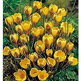 早咲きクロッカス:ドロシー(黄に紫)12球入り 2袋セット