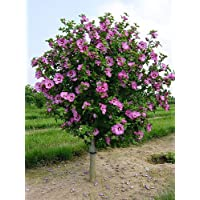 Aphrodite Rose of Sharon - Hibiscus - Althea - 4