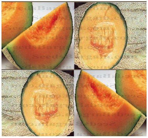 50+ ORGANIC HALES BEST JUMBO CANTALOUPE seeds MELON HOT ARID DROUGHT LOCATIONS