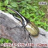 むしや本舗 ヘラクレスオオカブト成虫 オス(ヘラクレスヘラクレス) 150~152mm [生体]
