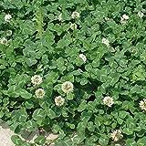 [タネ]シロクローバー:白クローバー(シロツメグサ)1kg[2~5月まき、8~10月まき]