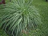 "Lemon Grass Plant - Must Have Herb! - Cymbopogon - 4"" Pot"