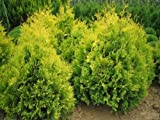8 PACK (9CM Pots) Dwarf Conifer Thuja Occidentalis Sunkist(White Cedar) Bright Yellow Evergreen Shrub