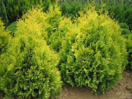 9cm-pot-dwarf-conifer-thuja-occidentalis-sunkistwhite-cedar-bright-yellow-evergreen-shrub