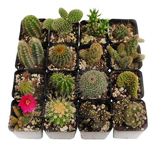 Shop Succulents Cactus Succulent (Collection of 12)