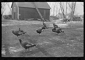 Turkeys on Rex Inman's farm near Estherville, Iowa (1936)