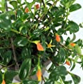 "Goldfish Plant - 6"" Hanging Basket - Blooms Frequently! from Hirt's"