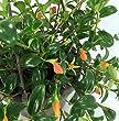 Goldfish Plant - 6\