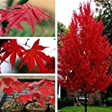 American Red Maple Tree Seeds 5PCS (Color: Red)
