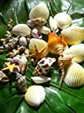 きれいな貝殻 シェル 9種の貝殻セット