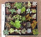 15 Mixed Succulent Spring Collection