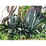 Blue/green Agave Cactus - Medium (Live Bare Root Plant)