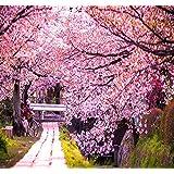 BIG PACK - (100) JAPANESE SAKURA FLOWERING CHERRY, Prunus serrulata Tree Seed - Japanese Cherry Blossom Tree Seeds - By MySeeds.Co (Big Pack - Japanese Sakura) (Tamaño: Big Pack - Japanese Sakura)