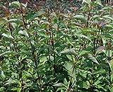 Sycamore Trading Cornus Kesselringii or Black Stemmed Dogwood x 5 Young Plants