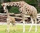 1/4 ~ Zoo Giraffes Birthday ~ Edible Image Cake/Cupcake Topper!!!
