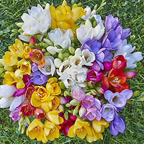 15 Single Mixed Freesias Bulbs - Top Size Bulbs (Fragrant Flower Bulbs compare prices)