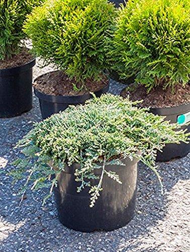 teppich-wacholder-ca-30-cm-balkonpflanze-immergrun-fur-den-winter-terrassenpflanze-sonnig-halbschatt