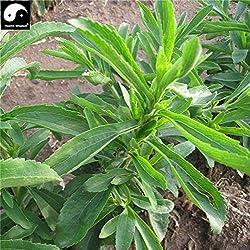 Chinese Green Stevia Seeds Organic Herbal Bonsain Seeds Garden Sugar Plants Sementes Zero Calories Natural Sweetener Tian Ye Ju