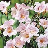 香りのフリージア:ストライプトパール8球入り 2袋セット[一重白花に紫筋・豊かな香り]