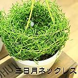 多肉植物・観葉植物:三日月ネックレス・コチドレンペンデンス・グリーンネックレス・ルビーネックレス・リプサリス*吊り鉢選べます。 (三日月ネックレス)